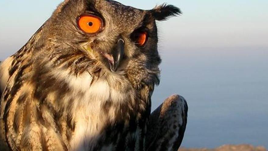 Presència rècord del rapinyaire nocturn més gran d'Europa al Parc Natural de Cap de Creus