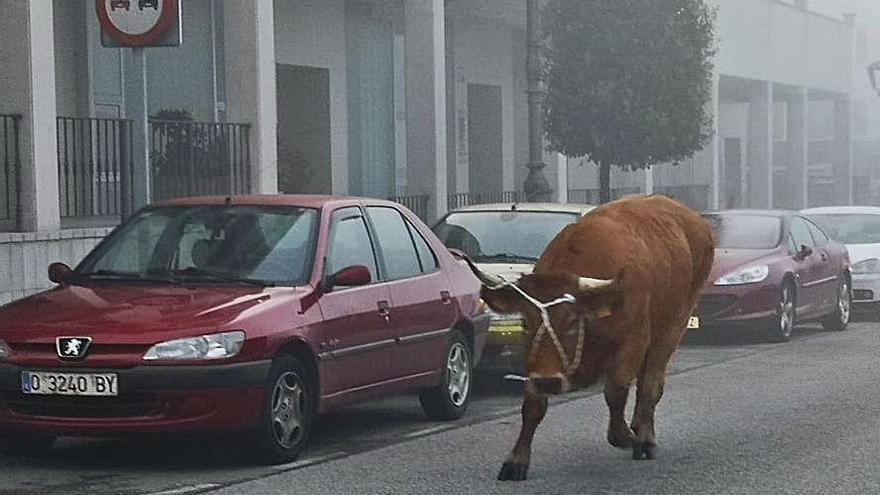 Una vaca corta el tráfico en Posada