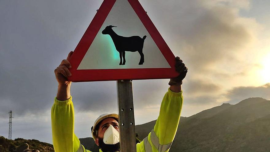 Precaución: cabras sueltas