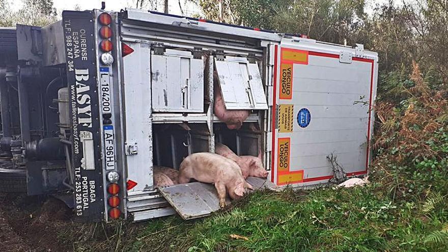Mueren varios cerdos en el vuelco de un camión en Beira que obligó a cortar el carril hacia As Travesas