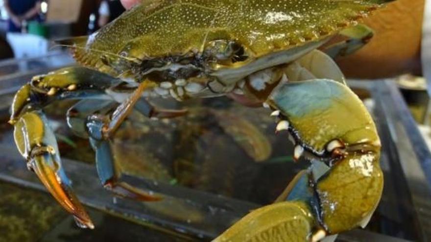 """El cangrejo azul, la especie invasora que causa problemas en el Mar Menor """"todo el año"""""""