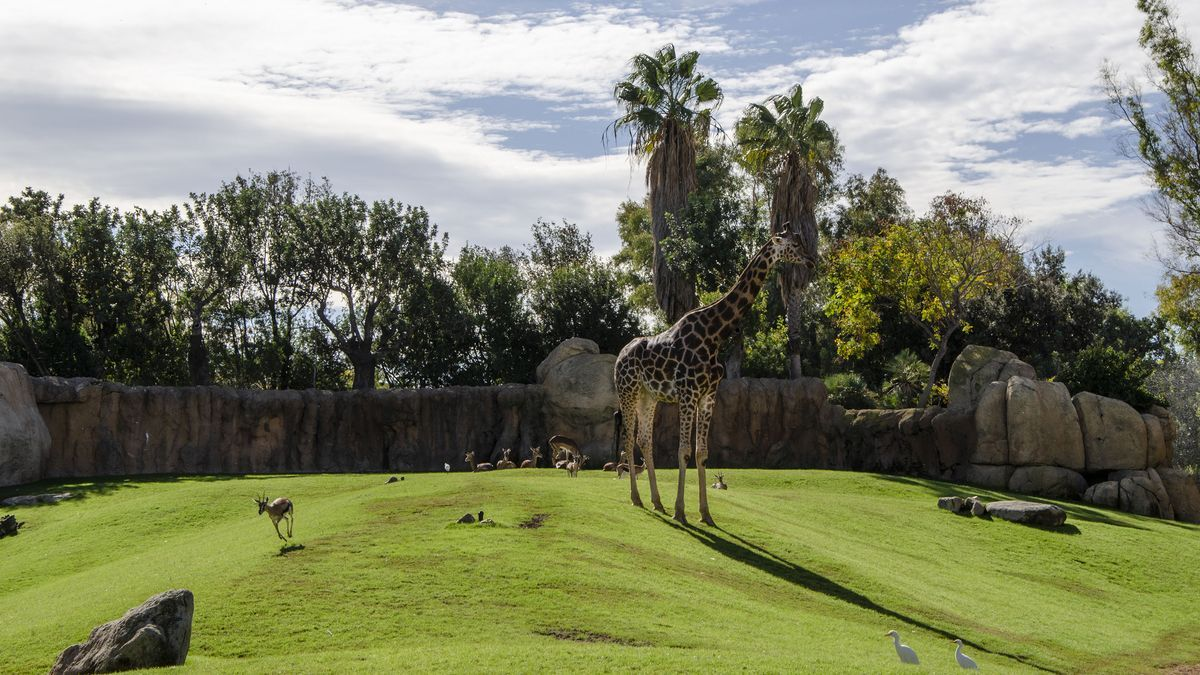 Las gacelas de Thomson se puede observar en el recinto multiespecie de la Sabana de Bioparc Valencia.
