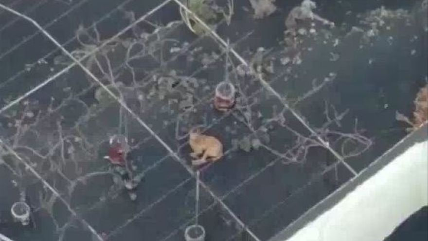 Todo listo para el rescate de los cuatro perros atrapados por la lava del volcán de La Palma