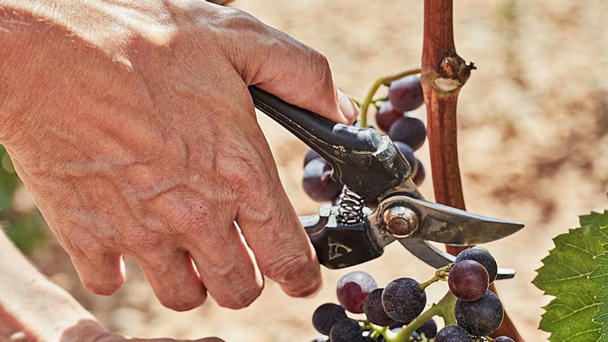 Fosh kocht: So bereiten Sie Köstlichkeiten mit Trauben von Mallorca zu