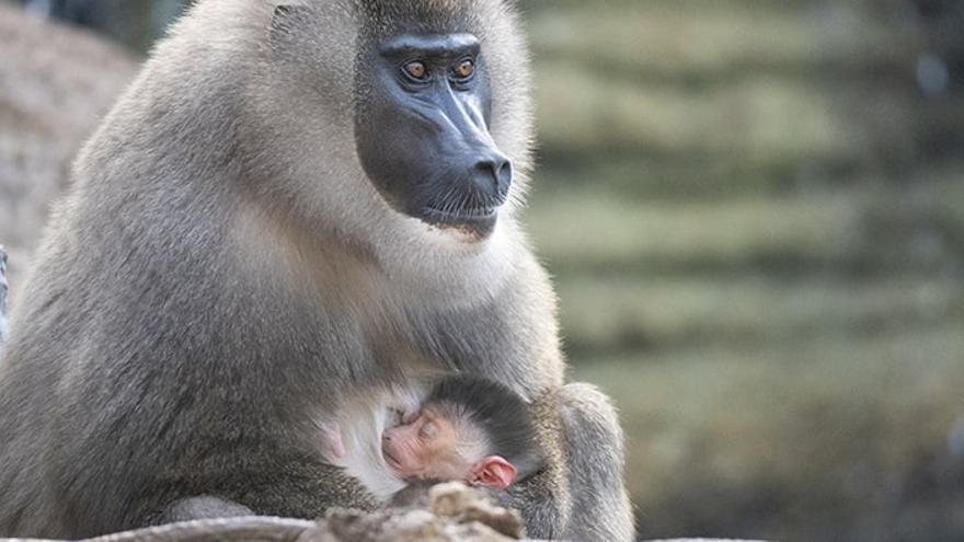 Bioparc celebra el nacimiento de un dril, una especie en grave peligro de extinción