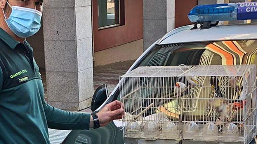 Detenido un moañés por robar 12 pájaros a un vecino, con un valor de 3.600 euros
