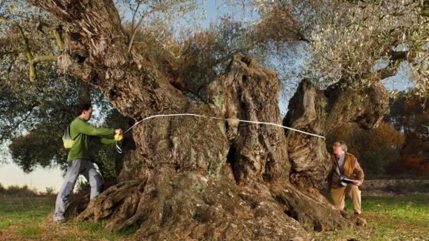 El 'Olivo de Sinfo', el mejor de todo el Mediterráneo