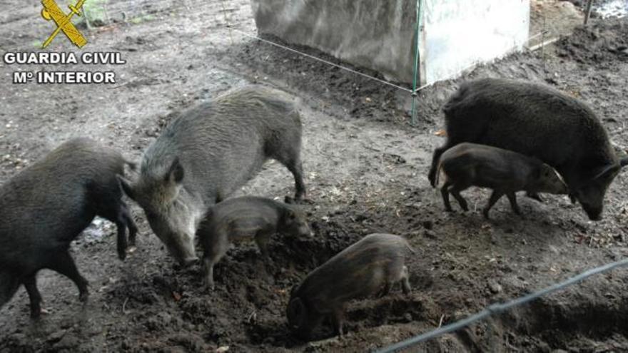 Destapan una explotación ilegal de cría de animales silvestres en Cerdedo-Cotobade