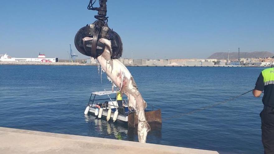 Aparece un tiburón de tres metros en el puerto de Alicante