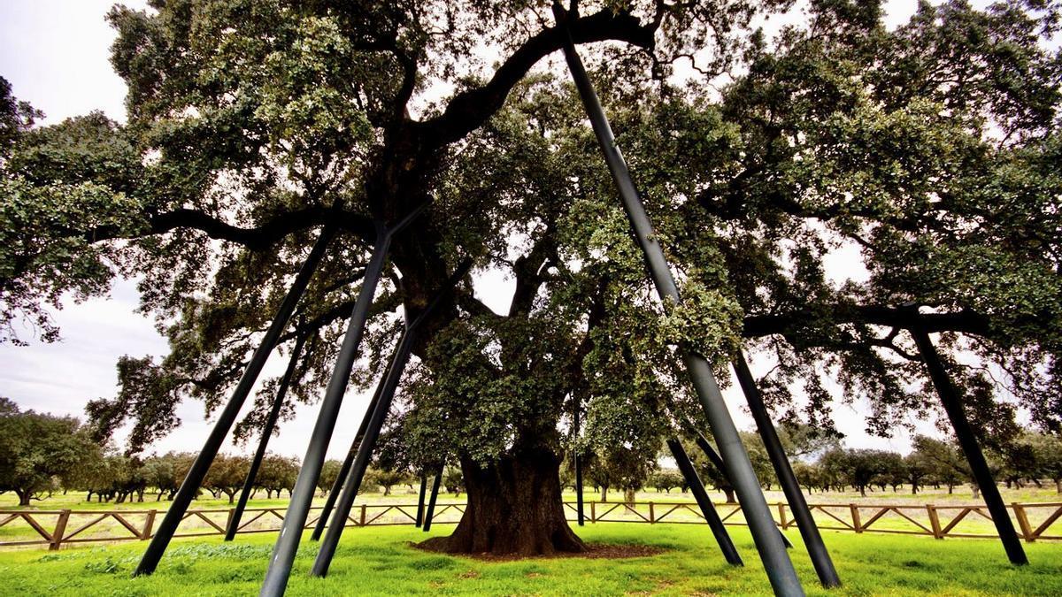 La encina La Terrona es, con sus 800 años, uno de esos árboles singulares de la provincia.