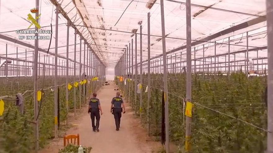 Once detenidos con 53.824 plantas marihuana en Almería, Murcia y Alicante