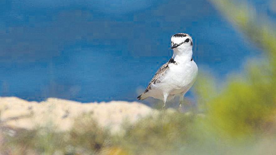Un ave protegida vuelve a criar en s'Albufera después de treinta años
