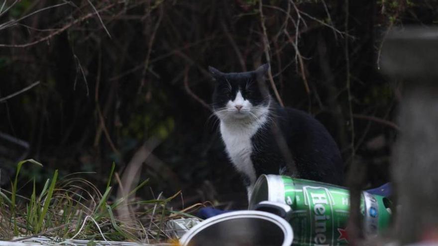Villaviciosa controlará la superpoblación de gatos callejeros