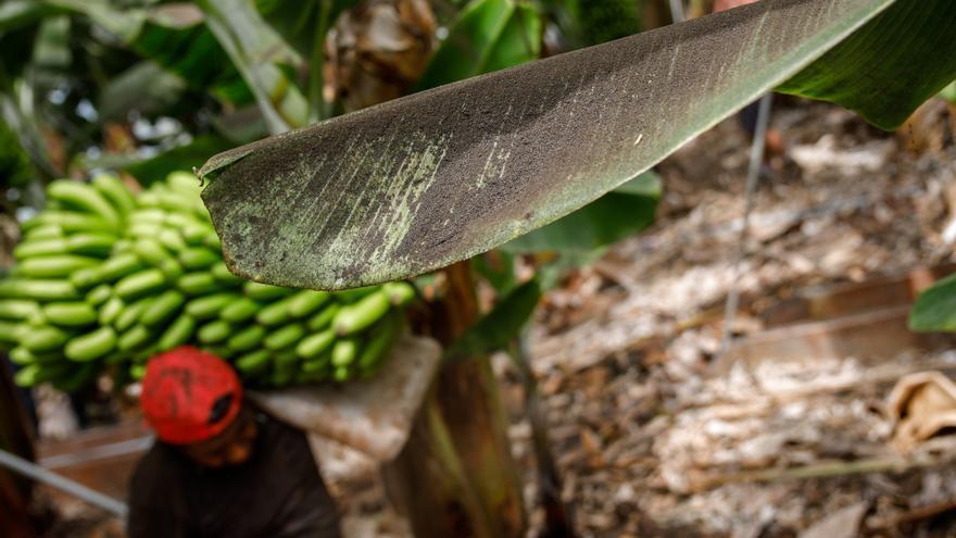 Agricultura flexibiliza la comercialización de los plátanos de La Palma afectados por la ceniza