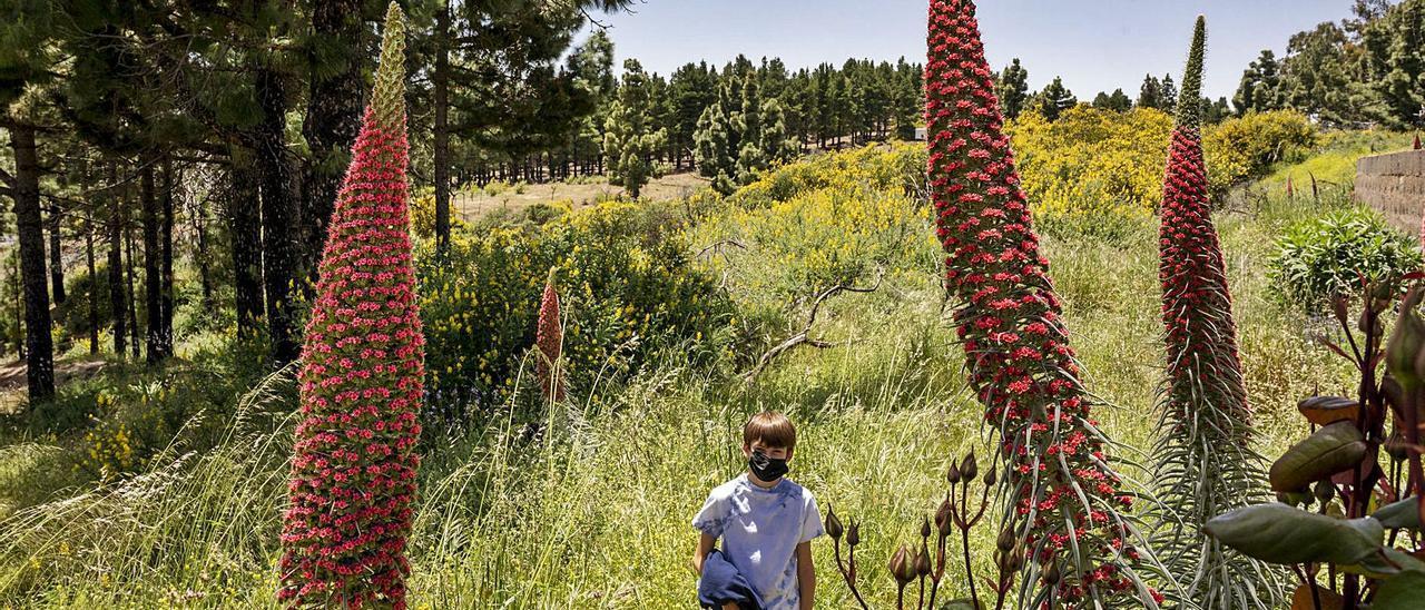 El tajinaste rojo, en los alrededores de fincas privadas en Llanos de la Pez, en Tejeda, fotografiados el sábado de la semana pasada. | | NACHO G. ORAMAS