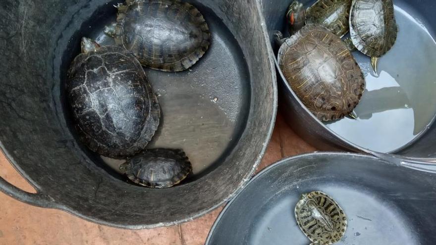 Retiran 3 generaciones de tortugas exóticas del Marjal de Almardà