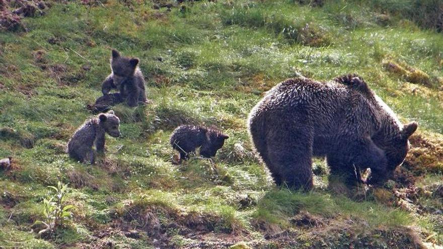 Asturias, en luna de miel con el oso