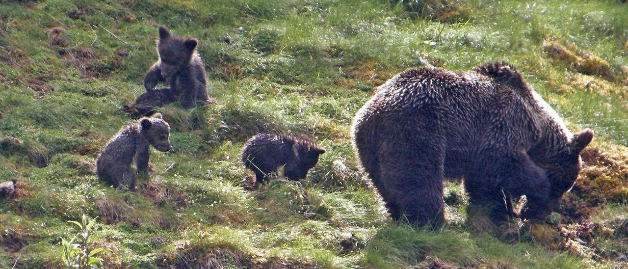 Una hembra de oso cantábrico con  sus crías.