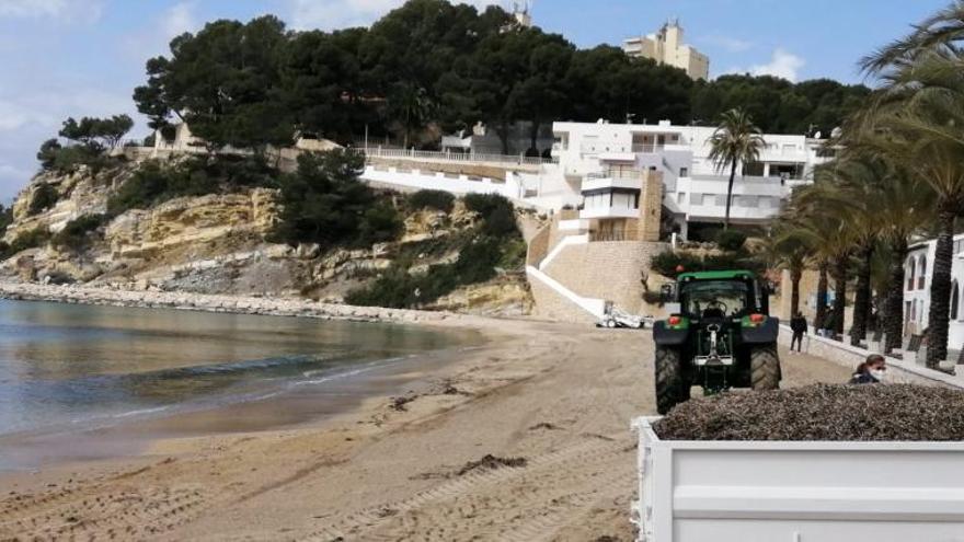 El nuevo gobierno de Teulada se afana en quitar la posidonia que protege las playas