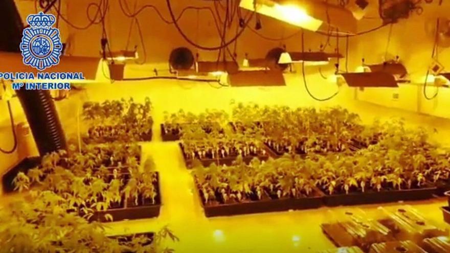 Tres detenidos con 650 plantas de marihuana para vender en Las Palmas