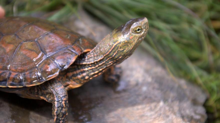 La tortuga de rierol es creua amb l'asiàtica