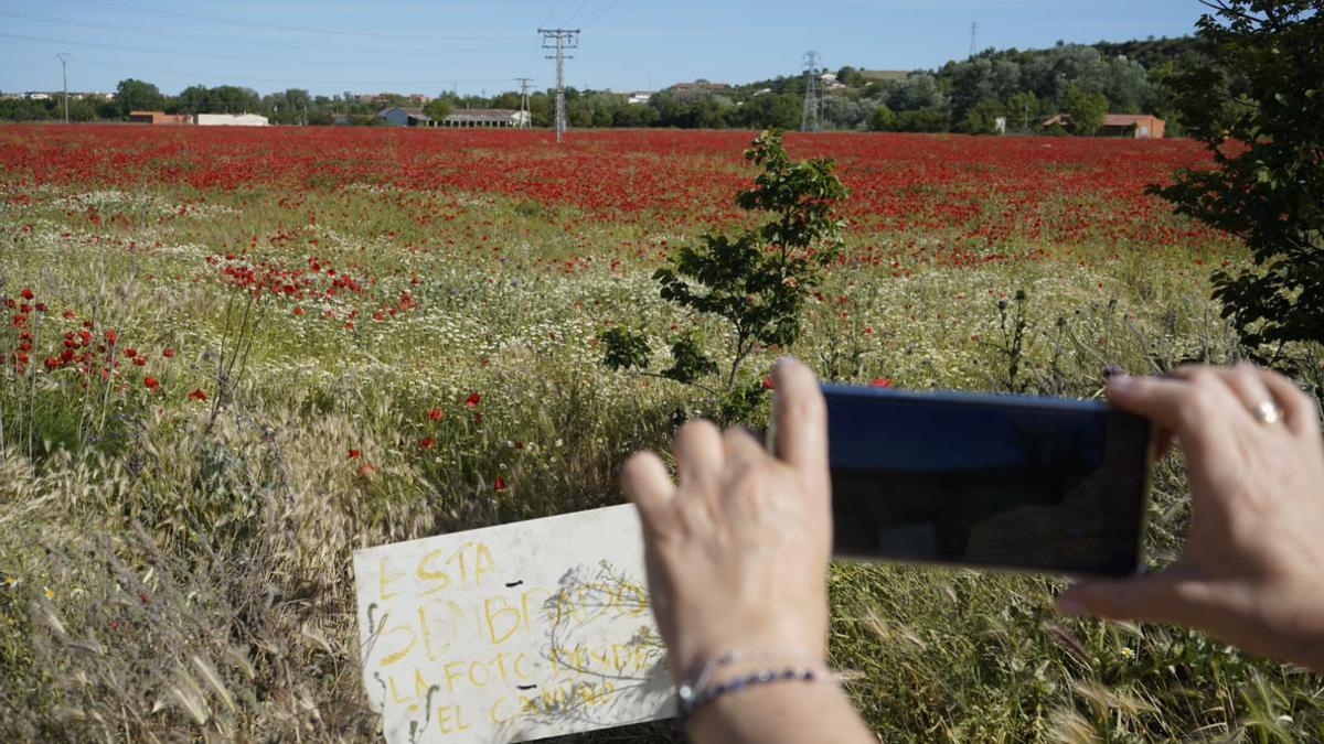 """""""Está sembrado. La foto desde el camino"""". Cartel junto al campo de amapolas."""