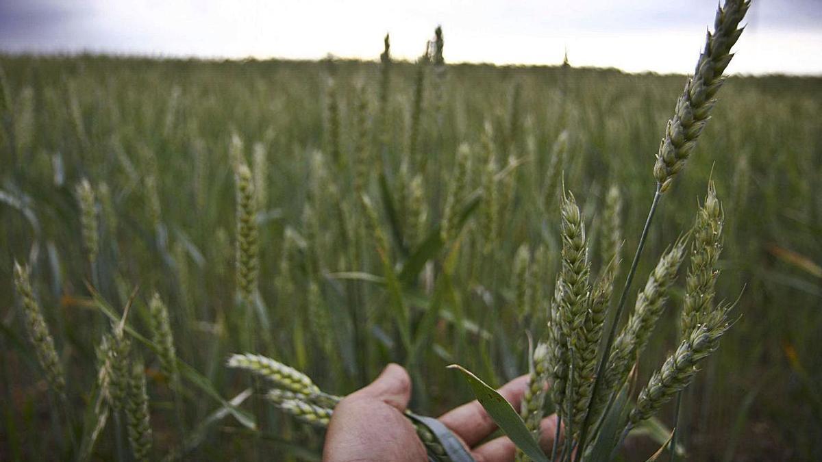 Campo de trigo en una parcela de la Tierra del Vino. | LOZ