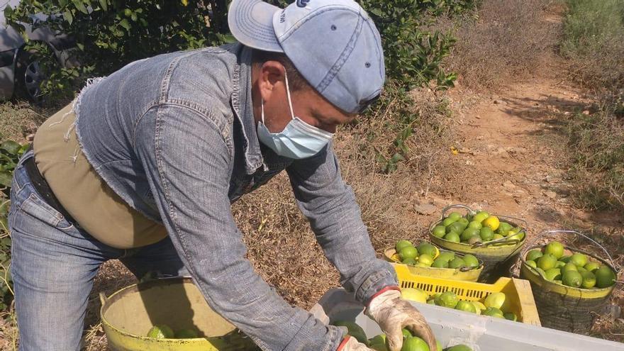Mercadona comprará más de 11.000 toneladas de limones murcianos esta campaña