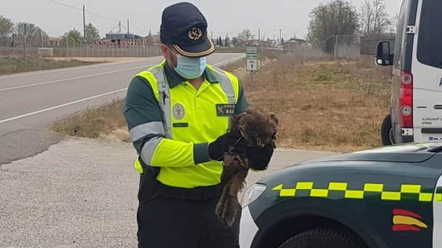 La Guardia Civil recupera un milano negro golpeado por un coche en Zamora