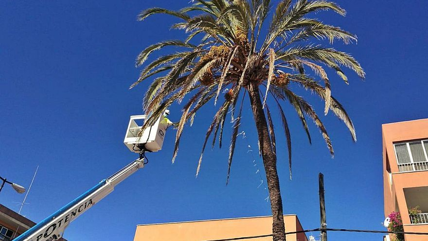 Llucmajor revisa el estado de las palmeras para evitar accidentes