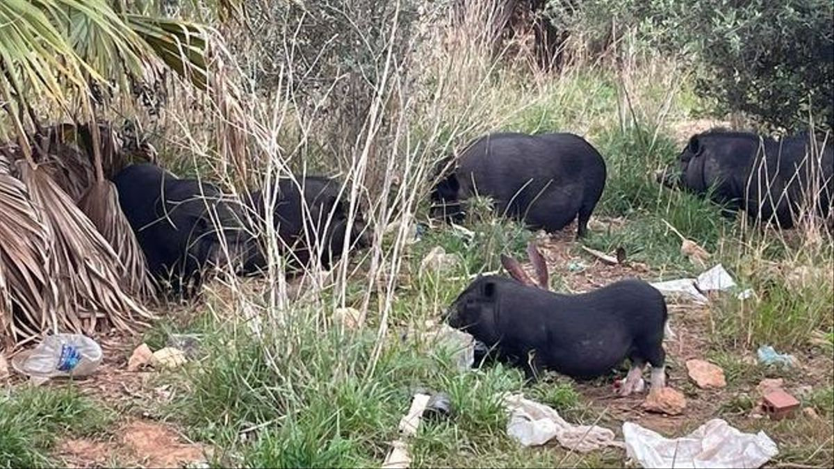 Cerdos vietnamitas en el parque Pont de Ferro