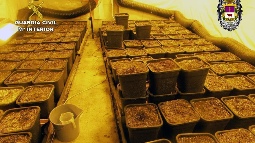 Desmantelan un invernadero de marihuana con 800 maceteros en Caravaca