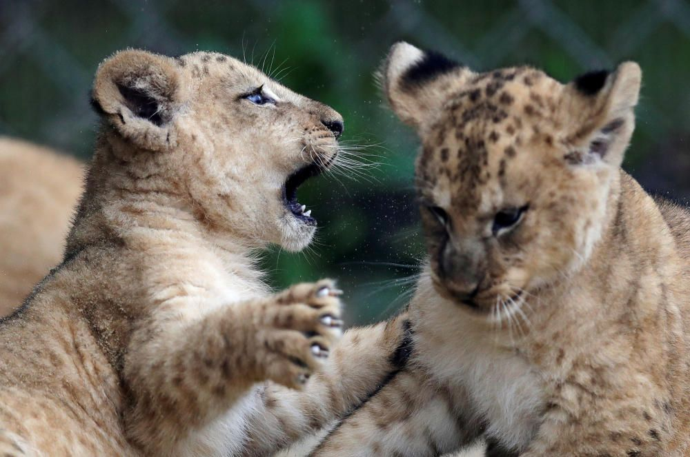 Newly born Barbary lion cubs play at Dvur ...