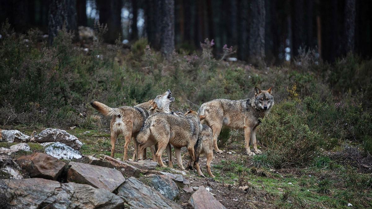 Cinco de los ejemplares de lobo del Centro del Lobo Ibérico de Castilla y León, en Robledo. | Emilio Fraile | EMILIO FRAILE