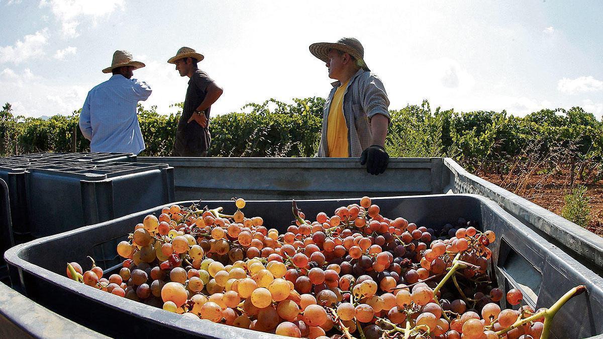"""Was tun mit den Trauben, wenn der Weinabsatz einbricht? ?""""Grüne Ernte"""" zu Alkohol destillieren - oder für bessere Zeiten lagern?"""