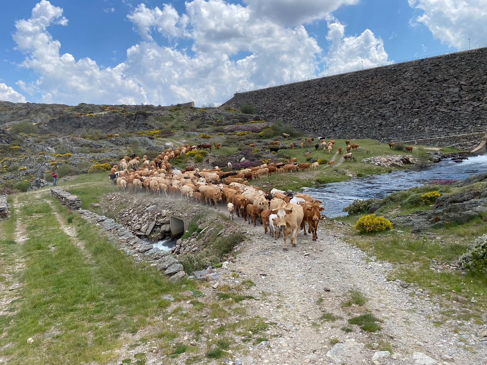 GALERÍA | Las vacas trashumantes mantienen vivo el Cordel Sanabrés