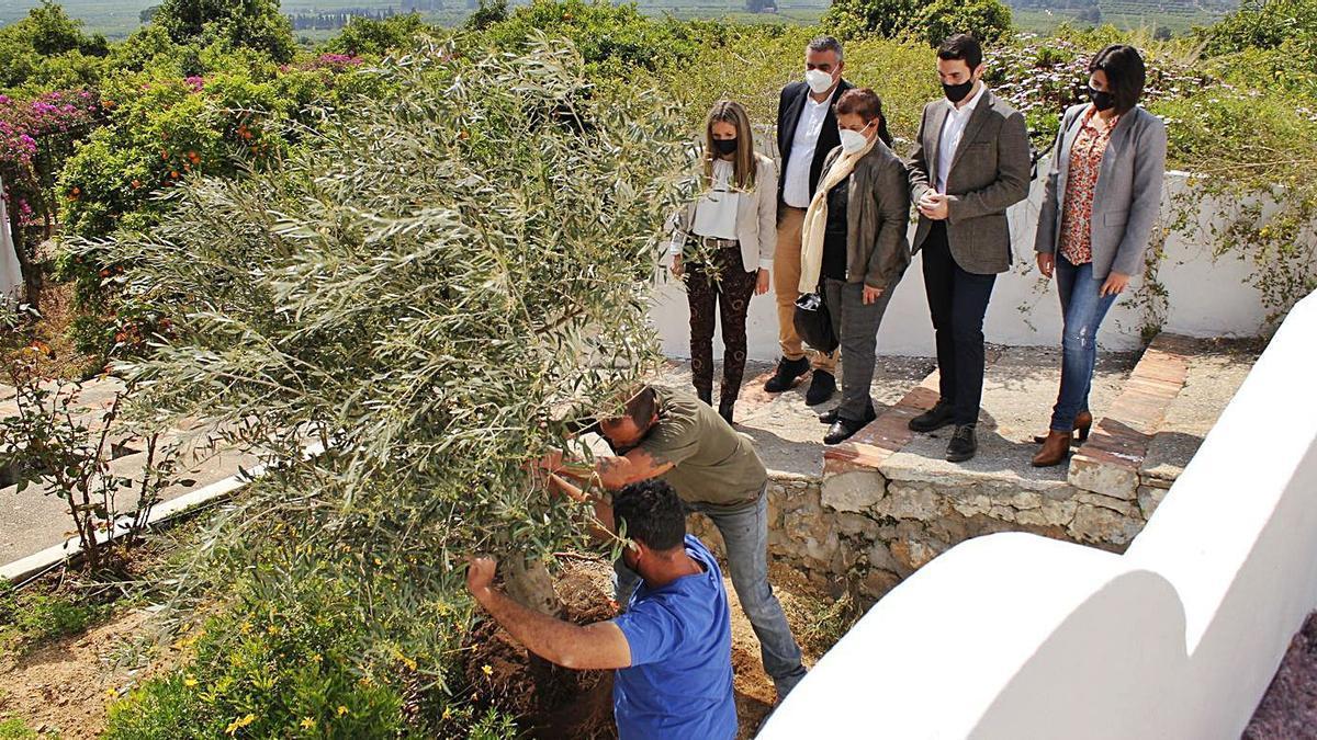 La delegación socialista de Oliva, en el momento en que dos personas plantan el Olivo, ayer en l'Elca.   | LEVANTE-EMV