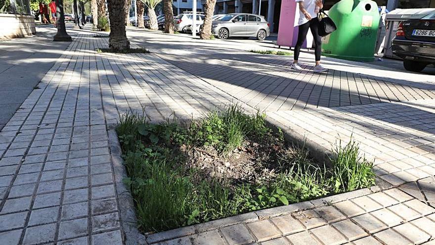 Parques y Jardines llenará de árboles los alcorques vacíos en Elche y las pedanías