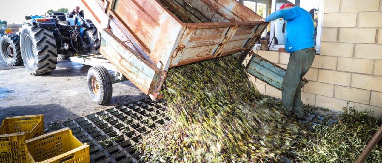 Agricultores descargando aceitunas en este inicio de campaña en las instalaciones de l'Almàssera de Millena, un pequeño municipio situado en la comarca de El Comtat.