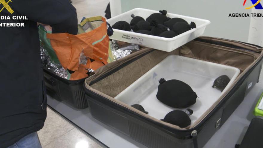 Comissen 76 cries vives de tortuga protegida a dins d'una maleta a l'aeroport del Prat