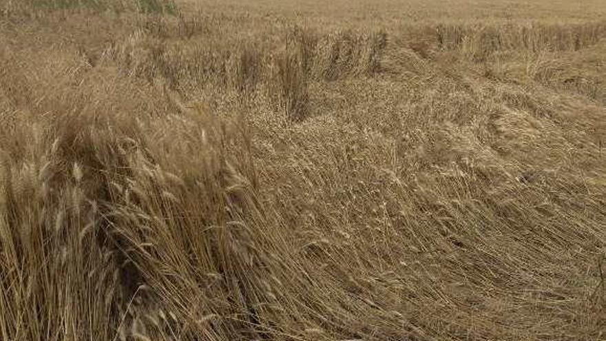 """El fuerte calor del mes de mayo recorta la previsión de una """"cosecha del siglo"""""""