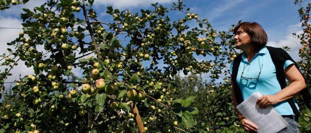 El Serida tiene en Villaviciosa más de 50 manzanos cruzados en estudio para resistir plagas, obtener variedades amargas y regular la producción. María Dolores Blázquez y Marcos Miñarro observan uno de los árboles desarrollados a partir del raxao.