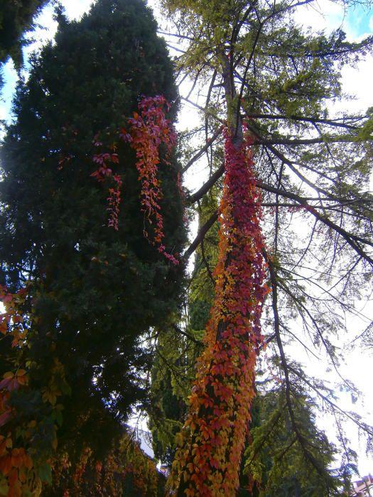 Tardor. La coneixem sobretot per vinya verge (Parthenocissus quinquefolia) i és la protagonista de la tardor. Les seves fulles passen del verd fosc a l'estiu a un intens color vermell a la tardor fins que es desprenen de les branques.