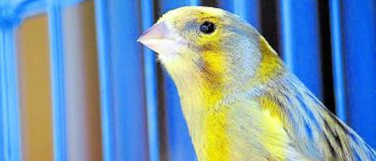 Mi canario es un tenor de nombre Pavarotti