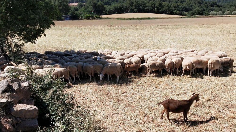 Ramat. Cada cop hi ha menys ramats al municipi de Cardona. Com el sol ja comença a picar, i elles encara duen el vestit de llana, les ovelles busquen l'ombra per passar menys calor.