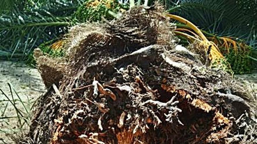 Cae un nuevo ejemplar infestado de picudo rojo en el Palmeral de Orihuela