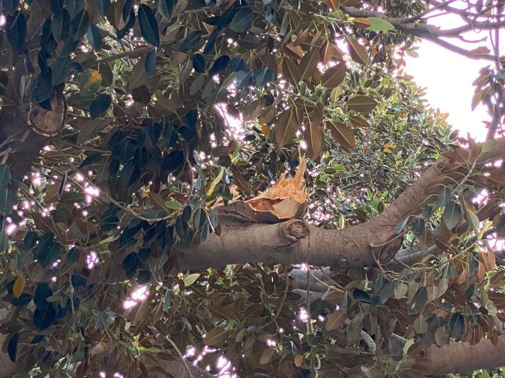 Cae una rama del emblemático ficus de la Misericòrdia