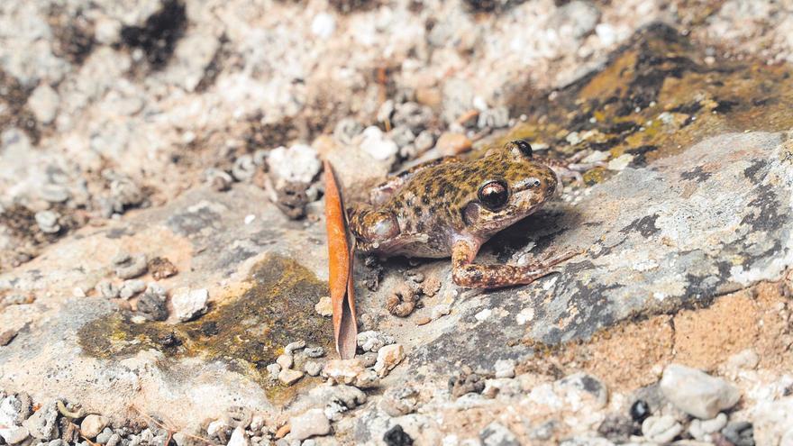 El 'ferreret' y el 'virot petit', las dos caras de una fauna en peligro de extinción