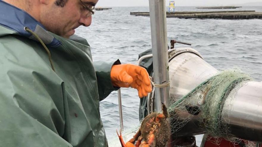 El centollo gallego cotiza al alza y genera en lonja 1,5 millones de euros en tres semanas