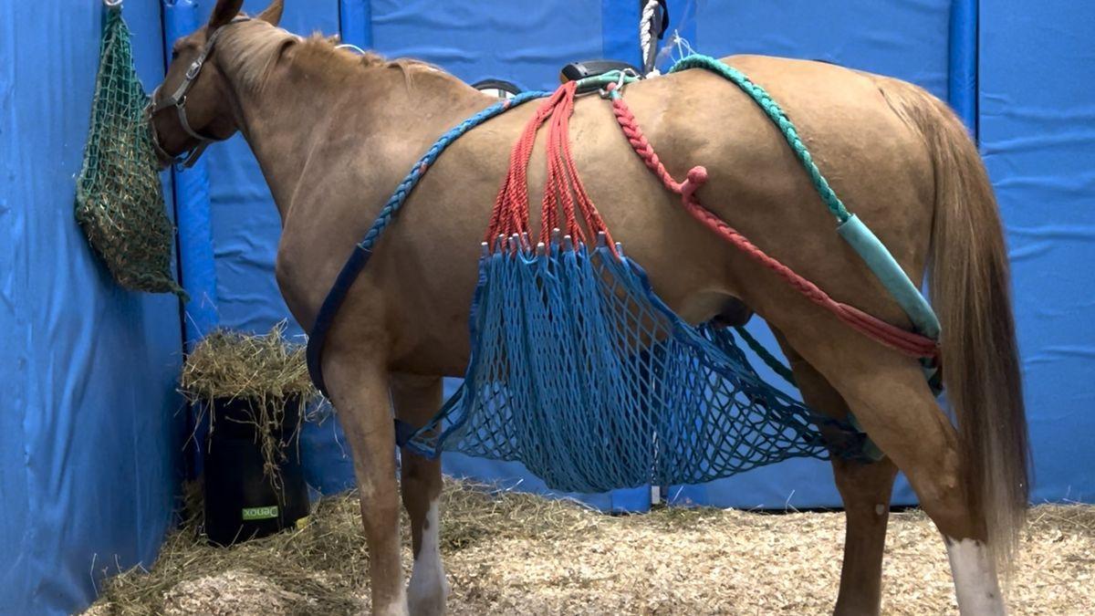 Uno de los caballos atendidos en el hospital clínico veterinario CEU Universidad Cardenal Herrera.